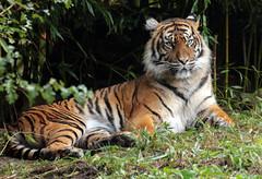 Sumatran tiger Burgerszoo BB2A0083 (j.a.kok) Tags: animal asia azie cat kat sumatraansetijger sumatrantiger tijger tiger sumatra pantheratigrissumatrae burgerszoo mammal zoogdier dier predator