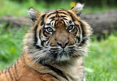 sumatran tiger Burgerszoo BB2A1638 (j.a.kok) Tags: animal asia azie cat kat sumatraansetijger sumatrantiger tijger tiger sumatra pantheratigrissumatrae burgerszoo mammal zoogdier dier predator