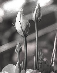 Macro of Flower Buds (nrhodesphotos(the_eye_of_the_moment)) Tags: dsc45253001920 wwwflickrcomphotostheeyeofthemoment theeyeofthemoment21gmailcom macro flower blackandwhite flowerbuds nature bokeh stems fultoncenter display indoors nyc manhattan wintertime season