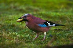 Jay (wayne.withers1970) Tags: flickr canon sigma wales winter nature natural outdoors outside wild wildlife garden woodland marsh wetland lake river water pond bird avian jay feathers wings colour colourful beautiful pretty small large big light dark black white blue brown green flora fauna plant grass feeding