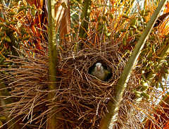 _73A9308 Peekaboo Parrot (margo2x) Tags: peekaboo parrot green nest palm–tree pests sitges spain