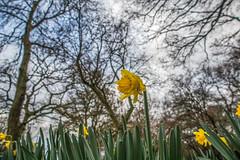 A whisper of Spring (fotosforfun2) Tags: daffodil flower green yellow trees nature winter spring seasons focus bokeh winkworth arboretum garden godalming surrey england britain uk