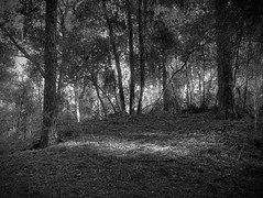 Spot (surfcaster9) Tags: blackwhite outside slope pineneedles pinetrees lumixg7 micro43 nature outdoors florida lumix25mmf17asph forest bw shadows woods
