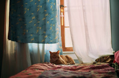 Quiet Diffusion (Jetcraftsofa) Tags: nikonf3 nikkor5014 fuji c200 35mm slr filmphotography availablelight analogcamera lateday sunshine diffuse bokeh dof diffusion neko cat curtains interiors bamboo quiet