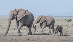 Trio (Tris Enticknap) Tags: africa kenya elephant africanelephant maranorthconservancy masaimara loxodontaafricana