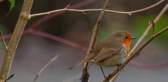 Winter Robin Sussex (Adam Swaine) Tags: robin robinredbreast robins canon birds gardenbirds englishbirds britishbirds naturelovers nature naturewatcher rspb sussex westsussex wildlife animals england english britain british uk ukcounties counties countryside adamswaine seasons winter 2020
