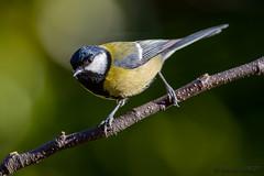 Mésange Charbonnière - Parus major (jean-louis21) Tags: oiseaux bird mésange charbonnière parus major