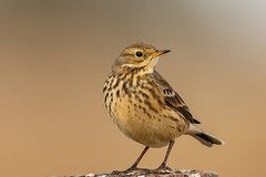 American Pipit (Gf220warbler) Tags: idaho pipit anthus motacillidae passerine songbird