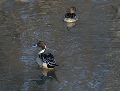 Northern Pintail (Philip Mitchell for the birds) Tags: pintail northernpintail bird nature wilderness