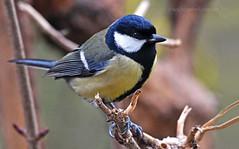 Keen arrival... (Ian A Photography) Tags: birds birdwatch britishbirds gardenbirds greattit nature nikon ukbirds ukwildlife wildlife goldwildlife wildlide