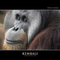KEMBALI (Matthias Besant) Tags: affe affen affenblick affenfell animal animals ape apes fell hominidae hominoidea mammal mammals menschenaffen menschenartig menschenartige monkey monkeys primat primaten saeugetier saeugetiere tier tiere trockennasenaffe orangutan orangutang orangoutang querformat sitzen schauen blicken blick gucken look looking kembali hessen deutschland