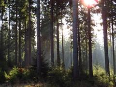 Sonnenlicht im Wald (germancute ***) Tags: nature wald forest landscape landschaft thuringia thüringen tree baum
