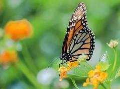 A Bright Sun Shiny Day (ACEZandEIGHTZ) Tags: macro wings bokeh monarchbutterfly nikond3200 flowers closeup winged flyinginsect bright light danausplexippus lantana nectar