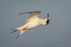 Shake it off... (Kevin James54) Tags: kevingiannini nikon500mmpff56 nikond850 wilmington animals avian bird birds fortfisher kevingianniniphotocom tern