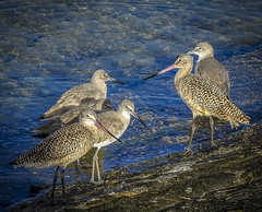 Marbled Godwits and Willets congregating (trishhartmann) Tags: birds florida marbledgodwits willets shorebirds gulfofmexico mago will scolopacidae