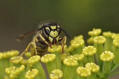 German Wasp - Vespula germanica (Phasmomantis) Tags: german wasp vespula germanica insect yellow nature ukwildlife invert marchnovember closeup macro pentax kmount tamron sigma ringflash flower bokeh cambridge macrolife