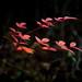 Red winter foliage