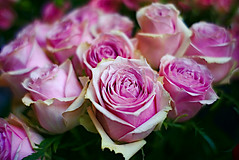 Because a rose is a rose (Fnikos) Tags: flower flor fiore fiori rose roses rosa rosasleaf leaves nature naturaleza natura natur color colour colores colours colors green pink dark light shadow shadows dof depth depthoffield outside outdoor
