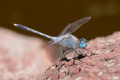 blue dragonfly (Ron Winkler nature) Tags: dragonfly odonata insect insects arthropod indonesia bali asia wildlife nature canon 100mm macro 5div