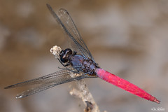 red dragonfly (Ron Winkler nature) Tags: dragonfly odonata insect insects arthropod indonesia bali asia wildlife nature canon 100mm macro 5div