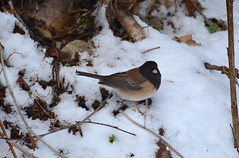 Chilly Junco (Neal D) Tags: bc abbotsford bird juncohyemalis junco darkeyedjunco snow