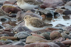 Dunlin (Dougie Edmond) Tags: sea water scotland unitedkingdom side wader southayrshire nature wildlife
