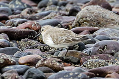 Dunlin (Dougie Edmond) Tags: scotland southayrshire sea water unitedkingdom side wader nature wildlife