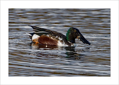 Shoveler (Anas clypeata) (prendergasttony) Tags: rspb bird birdwatching birding border water wildlife wild beak nikon d7200 tonyprendergast elements lancashire nature pennington