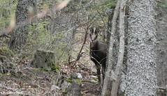 Ma plus belle rencontre avec  les chamois du mont Ventoux...face à un groupe éparpillé de 17 chamois ; les jeunes chamois étant au centre du groupe... (Vaucluse - 14 mai 2019) (1) (Carnets d'un observateur de la nature du Sud de la) Tags: arbre forêt nature biodiversité chamois cervidé montventoux vaucluse provence