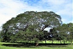 Costa Rica. Guanacaste. Hotel Rui Guanacaste. Guanacaste tree.  This is also the National tree of Costa Rica. (Anne & David (Use Albums)) Tags: costarica rui gunacaste iguanas birds fun hotelguanacaste allinclusive hot