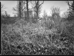 winter landscape, dried bramble, Biltmore Estate, Asheville, NC, Mamiya 645 Pro, Kodak Tri-X 400, Moersch Eco film developer, 1.10.19 (steve aimone) Tags: winter winterlandscape bramble dried biltmoreestate asheville northcarolina mamiya645pro mamiyasekor80mmf28 mamiyaprime primelens 120 120film film 645 mediumformat monochrome monochromatic blackandwhite analog