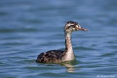 Svasso maggiore _004 (Rolando CRINITI) Tags: svassomaggiore uccelli uccello birds ornitologia avifauna curatore mincio natura