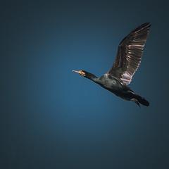 Dernier envol (_Ameskhan_) Tags: cormoran blue photographie animalière photography wildlife natural nature sony alpha oiseau dordogne aquitaine france camouflage observation
