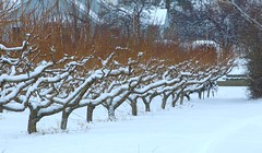 Orchard Trees with a Healthy Sprinkling (Goose Spittin' Image Photography) Tags: winter snow orchard trees row summerland bc january
