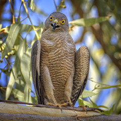 40.5°C, alice river - brown goshawk #2 (Fat Burns ☮) Tags: browngoshawk accipiterfasciatus hawk raptor bird australianbird fauna australianfauna nature nikond500 nikon200500mmf56eedvr barcaldine aliceriver queensland australia outback outdoors lagooncreekbarcaldine qld