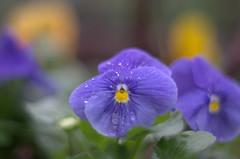 Straight out (M42Junkie) Tags: pentaxk5iis mamiyasekor55mm14m42 blue green orange yellow flower flowers m42 macro macrotubes sanantonio texas bokeh