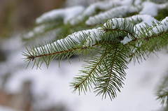 A Touch of Winter (Neal D) Tags: bc abbotsford tree snow branch fir douglasfir