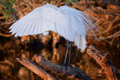 Great egret displaying breeding plumage at sunrise at the Venice Rookery, Venice, Florida (diana_robinson) Tags: greategret ardeaalba whitebird displayin breedingplumag sunrise venicerookery venice florida environment environmentalconservation outdoors beautyinnature nopeople