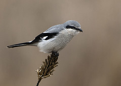 Northern Shrike_January 2020 (Thomas Muir) Tags: laniusborealis mageemarsh lakeerie ottawacounty oakharbor songbird passerine predator nikon d850 600mm wildlife bird birdwatching outdoor causeway ohio midwest northamerica hunting laniusexcubitor