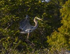 Great Blue Heron spring worries (Mike_FL) Tags: greatblueheronspringworries bird nikon nikond7500 nature tamron100400 floridawildlife florida floridabirdingtrail wildlife wetlands wakodahatcheewetlands mikesphotography photograph park flight