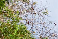 Rassemblement d'oiseaux (alain_did) Tags: birds nature naturallight naturepics naturalworld naturephotograph guyane visiterlaguyanerlaguyane beautyinnature colors magnifique canon