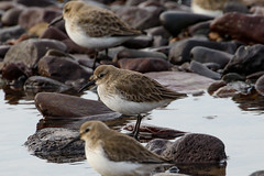 Dunlin (Dougie Edmond) Tags: southayrshire scotland unitedkingdom wader water sea side nature wildlife