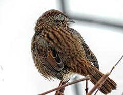 Melodious (robinlamb1) Tags: nature outdoor animal bird sparrow songsparrow melospizamelodia