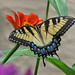 Tiger swallowtail on red zinnia