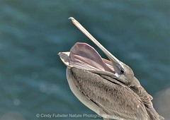 See What I Can Do? (CindyFullwiler Nature Photography) Tags: brown pelican gullet pouch large birds san diego la jolla seashore boardwalk nature bird