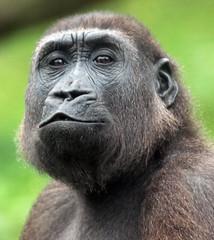 western lowlandgorilla Burgerszoo BB2A0985 (j.a.kok) Tags: animal africa afrika aap ape burgerszoo mammal monkey mensaap gorilla westelijkelaaglandgorilla westernlowlandgorilla lowlandgorilla laaglandgorilla primaat primate zoogdier dier specanimal