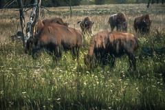 Graze (larwbuck) Tags: bison landscape artistc buffalo effects field grasses nationalpark outdoors painterly rural summer travel wildlife wyoming