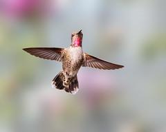 Up, Up, and Away! (Patricia Ware) Tags: annashummingbird birdsinflight california calypteanna canon ef400mmf4doisiiusmlens handheld kennethhahnrecreationalarea losangeles ©2020patriciawareallrightsreserved specanimal