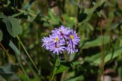 Asters, River Walk, Dexter, Michigan (marylea) Tags: plants wildflower aster sep11 2018 bordertobordertrail b2b boardwalk riverwalk dexter washtenawcounty walk