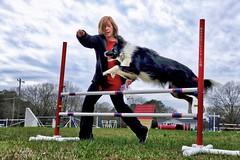 Training (Tatchum) Tags: dog border collie agility training jump animal action